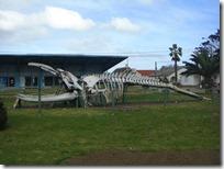 Actractivo invernal #2 (y final): Esqueleto de Ballena Franca Austral (el museo estaba cerrado).