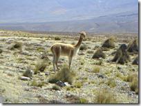 Ahora vicuñas en lugar de guanacos.