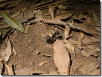 Hormigas gigantes